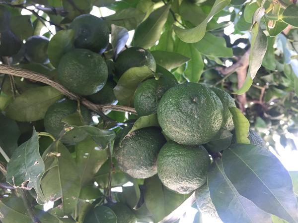 ジュエルフルーツ柚子3